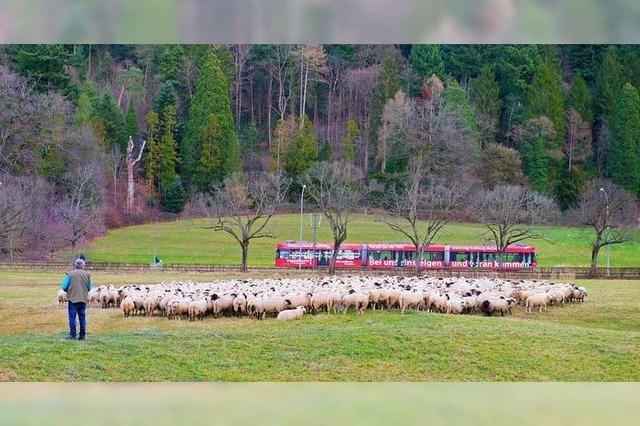 Auf einer Wiese bei Günterstal grast eine Herde Schafe