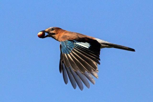 Hier fliegt ein Eichelhäher mit einer Kastanie im Schnabel davon