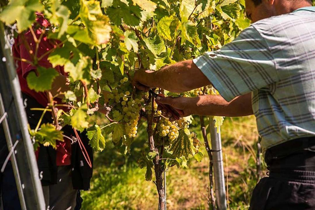 Weinabsatz und Umsatz gesteigert: Die Glottertäler Winzer sind zufrieden.  | Foto: Hubert Gemmert