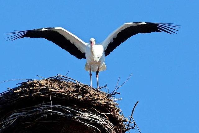 Denzlinger Storchenbeauftragter erneuert Windschutz für Jungvögel