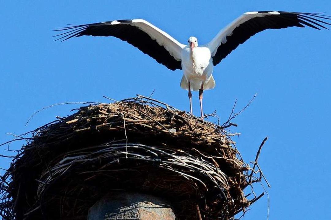 Ein Storch thront auf seinem Nest.  | Foto: Albert Rummler