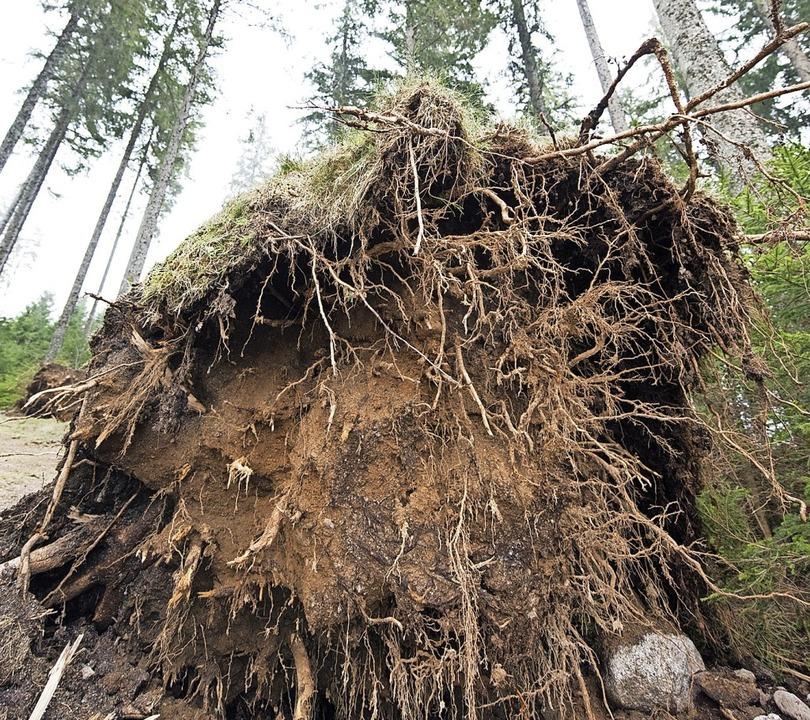 Die mit dem Wurzelstock umgefallenen B...zu höheren Preisen auf den Holzmarkt.   | Foto: Patrick Seeger