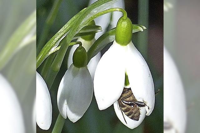 Wenn sich die Biene im Schneeglöckchen versteckt