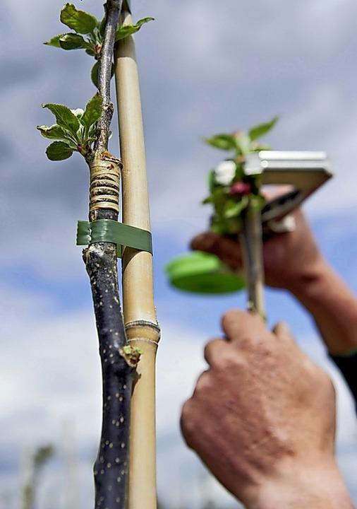 Jedes Jahr will die Gemeinde neue Bäume pflanzen.    Foto: Ferdinand Graf Luckner