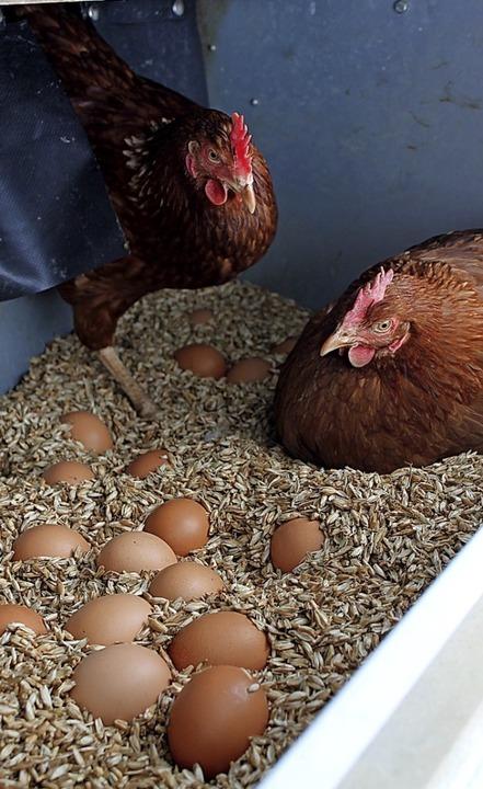 In mobilen Ställen sind die Hühner des Käppelehofes untergebracht.  | Foto: Cornelia Liebwein