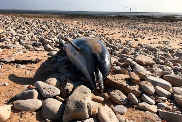 Wieder Delfinsterben an Atlantikküste - Fischer in Kritik