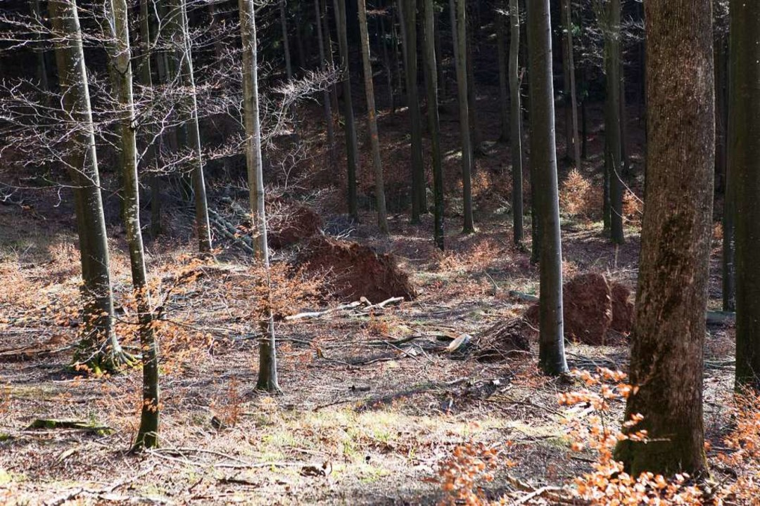 Wurzelteller bleiben von den umgerissenen Bäumen.  | Foto: Bastian Bernhardt