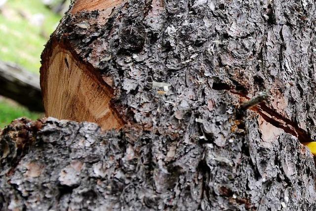 Zwei große Bäume im Hotzenwald unfachmännisch gefällt
