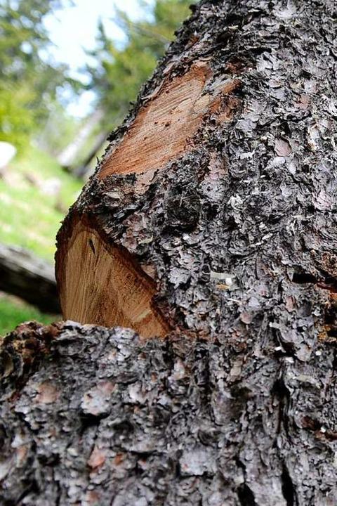 Es stellte sich heraus, dass die Bäume...terer war eingeschnitten (Symbolbild).    Foto: Tobias Hase