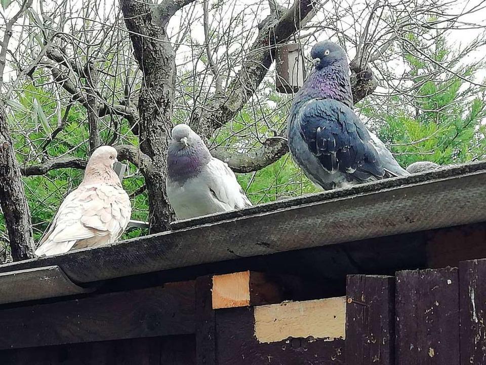 Lieber eine Taube auf dem Dach als einen Spatz in der Hand.  | Foto: Ulrike Derndinger