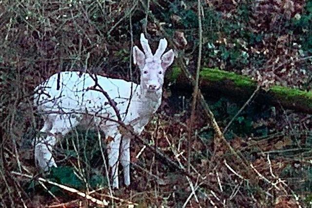 Im Weiler Dreiländergarten taucht immer wieder ein weißer Rehbock auf
