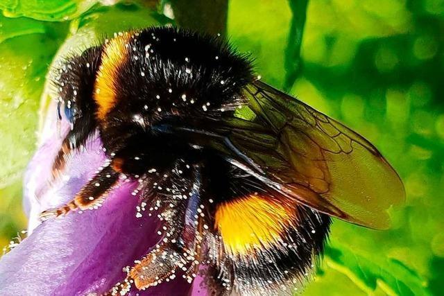 Warum gibt es keinen Honig von Hummeln?