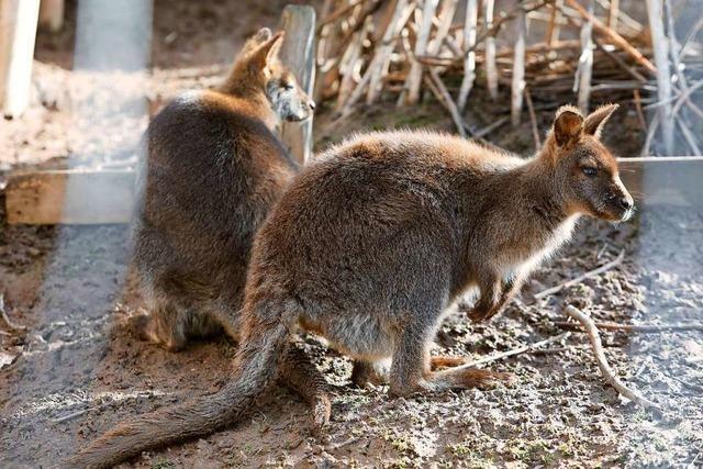 Warum in einem Gehege in Dörlinbach Wallabys herumhüpfen