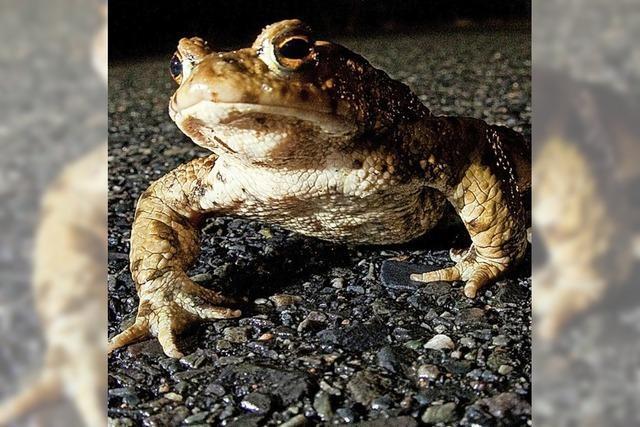 Damit weniger Amphibien unter Räder kommen