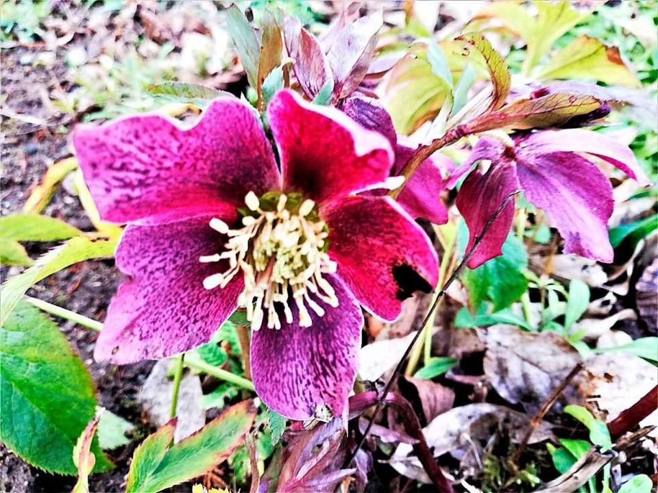 Die Frühlings-Christrose hat oft prächtig gesprenkelte Blüten.  | Foto: Heinz Scholz