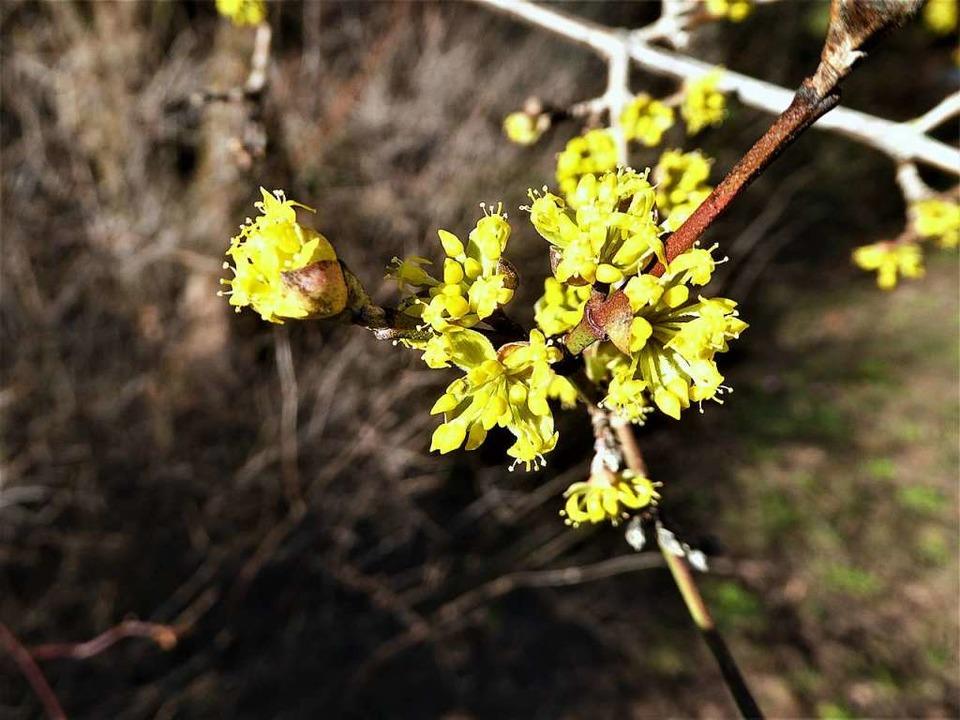 Die Kornelkirsche bildet  kleine gelbe Blüten und später essbare Beeren.  | Foto: Heinz Scholz