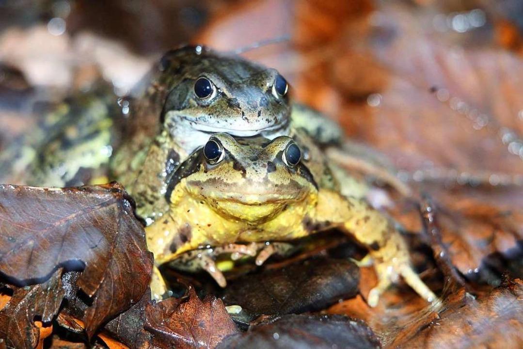 Sie paaren sich wieder: Ein Grasfrosch umklammert sein Weibchen.  | Foto: Karl-Josef Hildenbrand