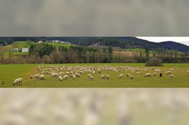 Schafherde auf Wanderschaft
