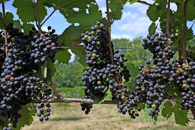 Weinbauinstitut Freiburg sieht pilzwiderstandsfähige Sorten im Aufschwung