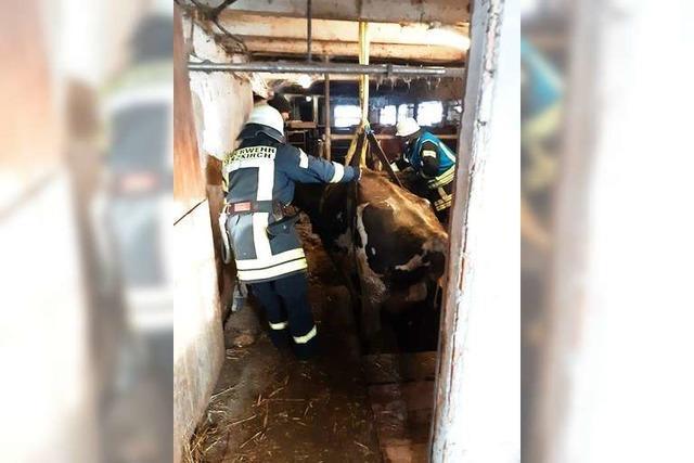 Feuerwehren retten Kühe aus Jauchegraben