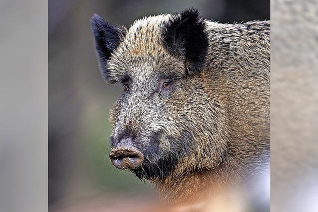Schweinepest gerät in Vergessenheit