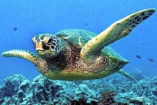 Schildkröten riechen gerne Plastik-Abfälle