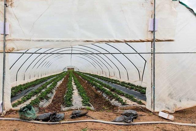 Über 200 Liter Wasser für ein Kilo Erdbeeren