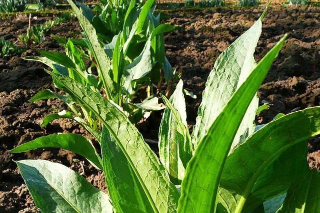 Für Salate, Soßen & Co.: Sauerampfer und Gartenampfer