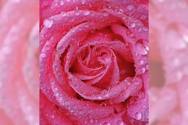 Faire Rosen für starke Frauen