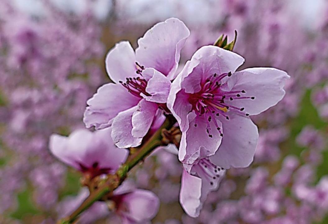 Pfirsichblüte in Fischingen  | Foto: Victoria Langelott