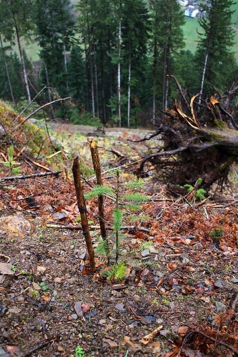 Ein Setzling von den Neupflanzungen im...mtief Sabine frisch entwurzelter Baum.  | Foto: Karin Heiß