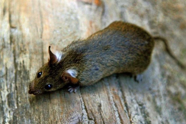 Köder gegen Ratten in Ballrechten-Dottingen ausgelegt
