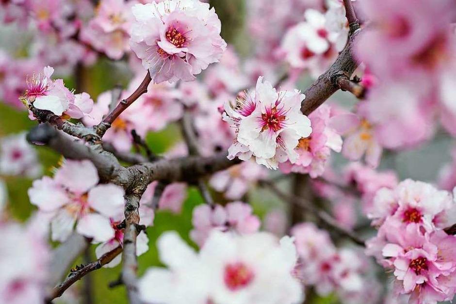 Neustadt an der Weinstraße: Mandelblüten (Foto: Uwe Anspach (dpa))
