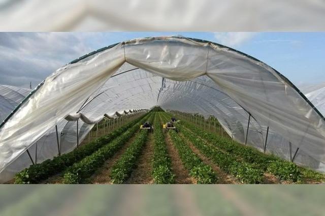 Erdbeeren wachsen, aber wer erntet?