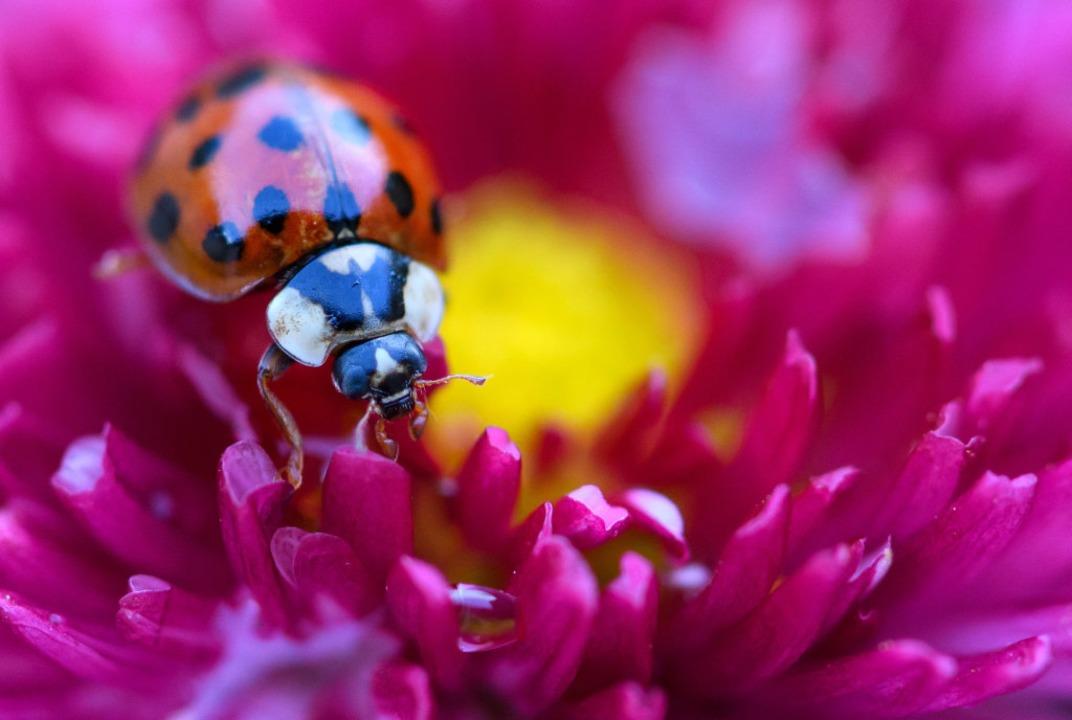 Die Zahl der Punkt hängt mit der Art des Käfers zusammen.    Foto: Sven Hoppe (dpa)