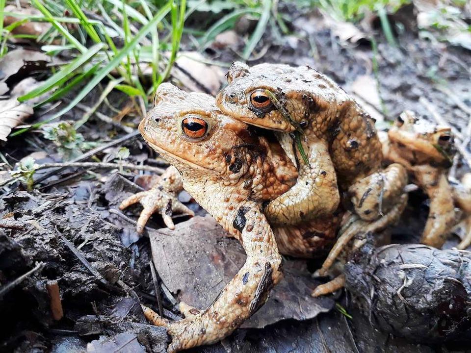 Die Krötenwanderungen sind schon voll ...e Helfer für die Naturschützer finden.  | Foto: Jasmin Radel