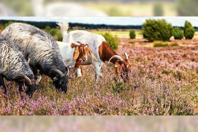 Heidschnucken sind die Bewahrer der Lüneburger Heide