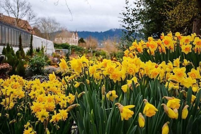 Gärtnerei Kaltenbach zieht Frühlingsblumen selbst groß