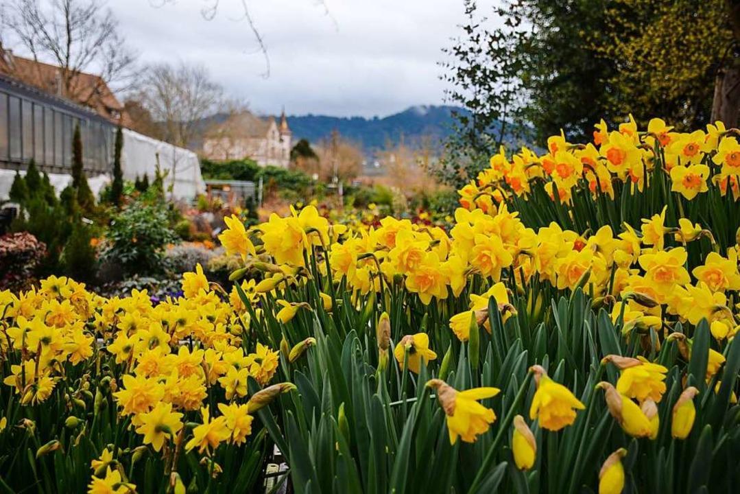 Blumen in der Gärtnerei Kaltenbach    Foto: Gabriele Hennicke