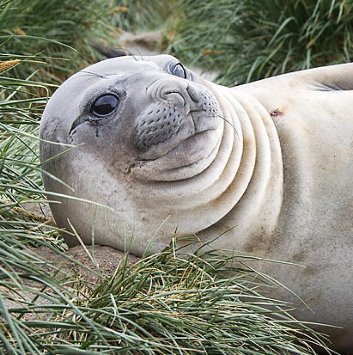 See-Elefantenkühe leben länger als männliche See-Elefanten.  | Foto: Picasa