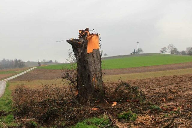 Wie die Gemeinde Binzen bedrohte Bäume retten will