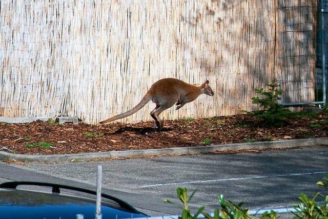 Känguru springt durch Müllheim und landet im Gartencenter