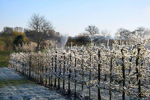 Warmer Winter, später Frost: Schlimme Kombination für den Obstbau