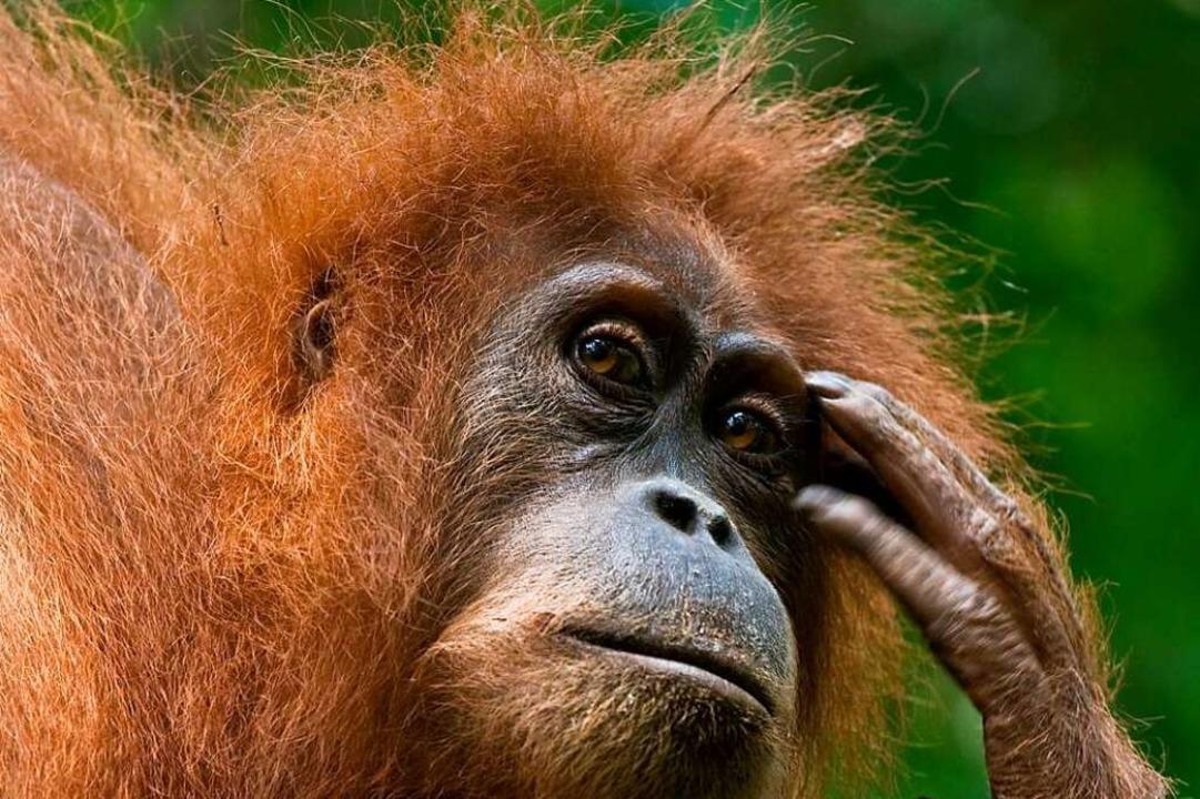 Auch der  der Orang-Utan tut's!    Foto: RCSolutions
