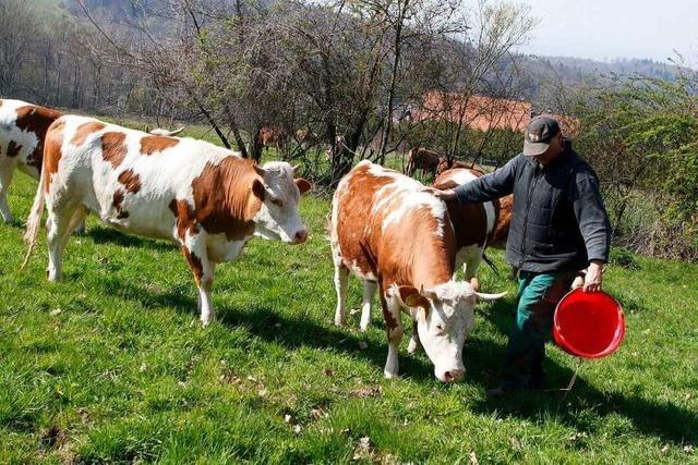Die Hinterwälder Rinder sind jetzt auf dem Langenhard
