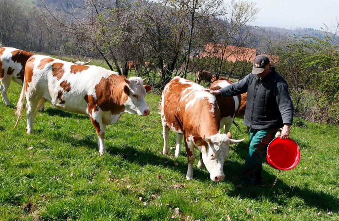 Landwirt Bernd Schmieder treibt die Hi...lder auf die Weide auf dem Langenhard.    Foto: Heidi Fößel