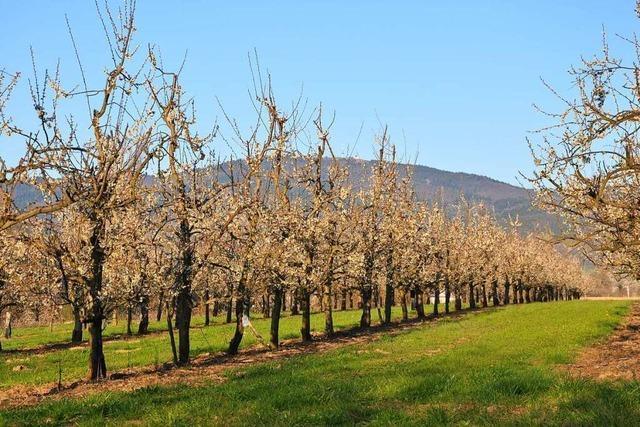 Markgräfler Landwirte stehen wegen Coronakrise, Erntehelfermangel und Frost unter Druck