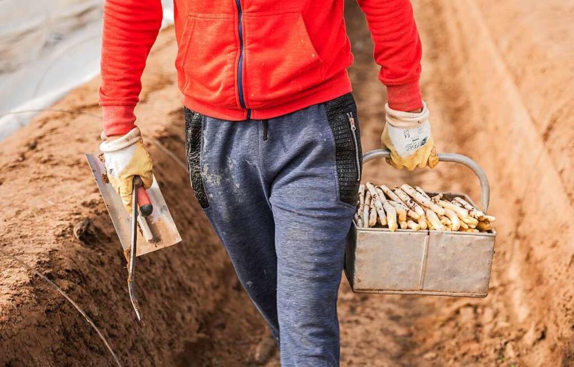 Im April steht die Spargelernte an &#8...nen und Helfer auf den Feldern finden.  | Foto: Andreas Arnold (dpa)