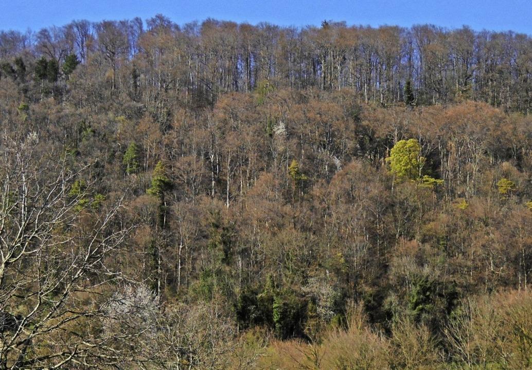 Grüne Tupfen im Grenzach-Wyhlener Wald...orn – kündigen das Frühjahr an.   | Foto: Helmut Bauckner