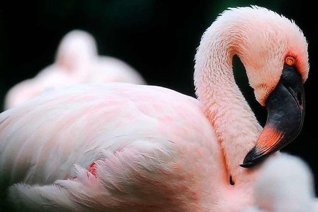 Wie bekommen Flamingos im Zoo ihre rote Farbe?